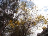 高雄市.鳳山區.鳳西運動公園-黃金風鈴木區:[snoopy7219] DSC00397.JPG