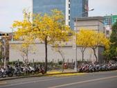 高雄市.鳳山區.鳳西運動公園-黃金風鈴木區:[snoopy7219] 鳳西運動公園-黃金風鈴木區