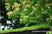 台北市.中正區.溫州公園前加羅林魚木:[moon1230] 溫州街加羅林魚木