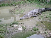 台中縣.太平市.非洲觀光鱷魚繁殖場:[xuiteyo] 20090706233018