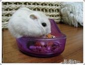 (這是一本待審核的相簿):[melody0cps] 寵物鼠.jpg