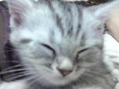 種貓Naughty 99/4/17純立耳:1229217765.jpg