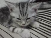 種貓Naughty 99/4/17純立耳:1229217766.jpg