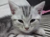 種貓Naughty 99/4/17純立耳:1229217767.jpg