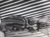 種貓Naughty 99/4/17純立耳:1229217769.jpg