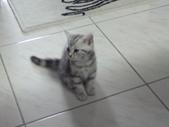 種貓Naughty 99/4/17純立耳:1229217770.jpg