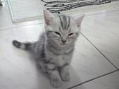 種貓Naughty 99/4/17純立耳:1229217773.jpg