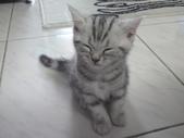 種貓Naughty 99/4/17純立耳:1229217774.jpg