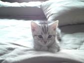 種貓Naughty 99/4/17純立耳:1229217776.jpg