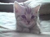 種貓Naughty 99/4/17純立耳:1229217777.jpg