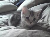 種貓Naughty 99/4/17純立耳:1229217778.jpg