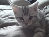 種貓Naughty 99/4/17純立耳:1229217779.jpg