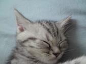 種貓Naughty 99/4/17純立耳:1229217785.jpg