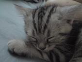 種貓Naughty 99/4/17純立耳:1229217790.jpg